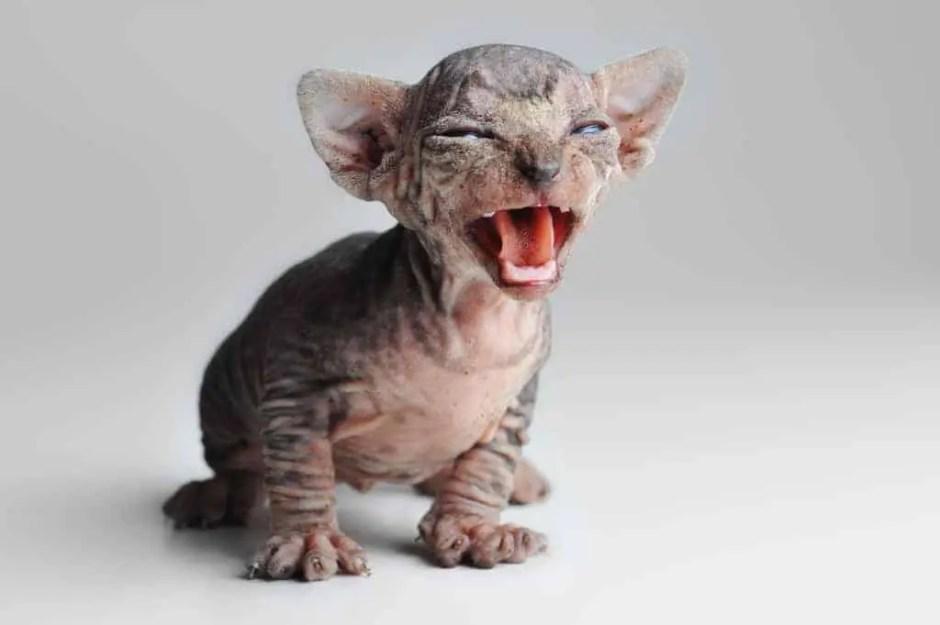 stop kitten meowing