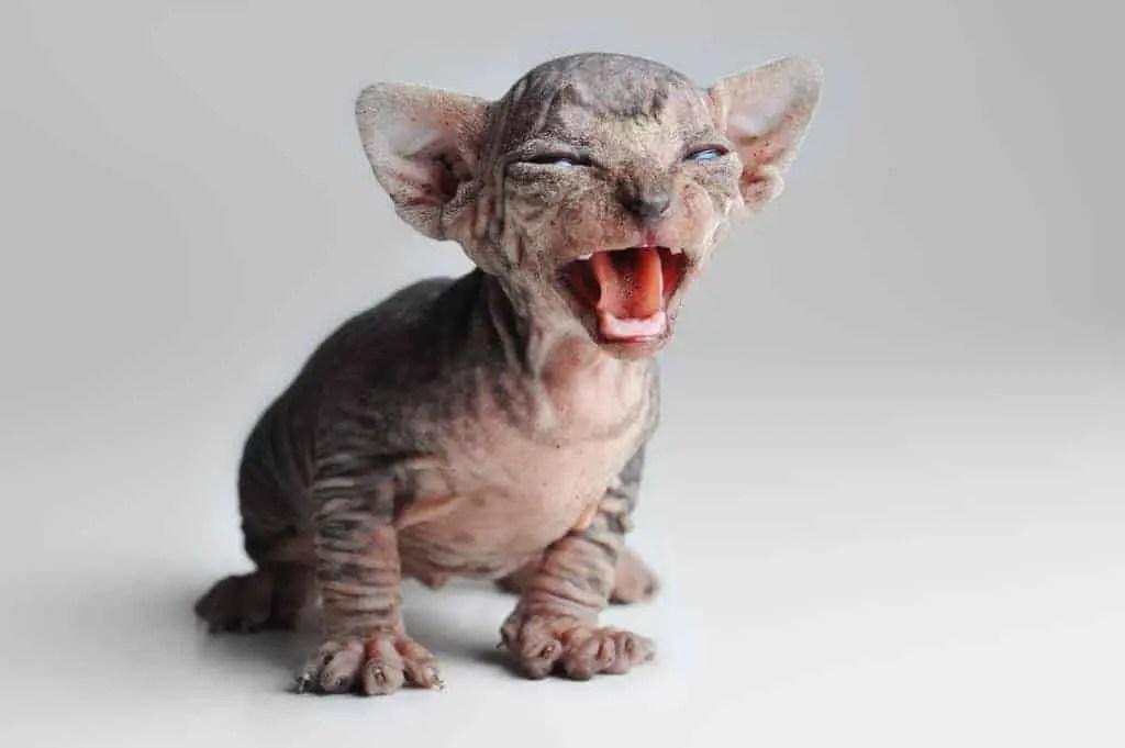 is eevee a cat