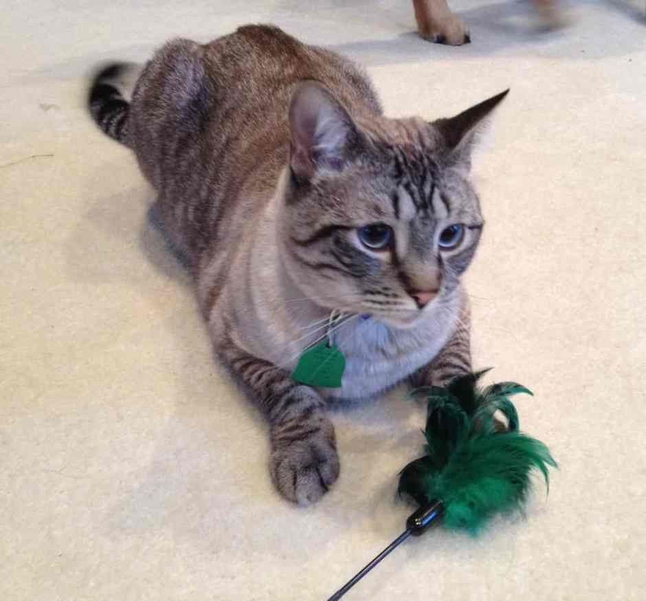 clicker training cats