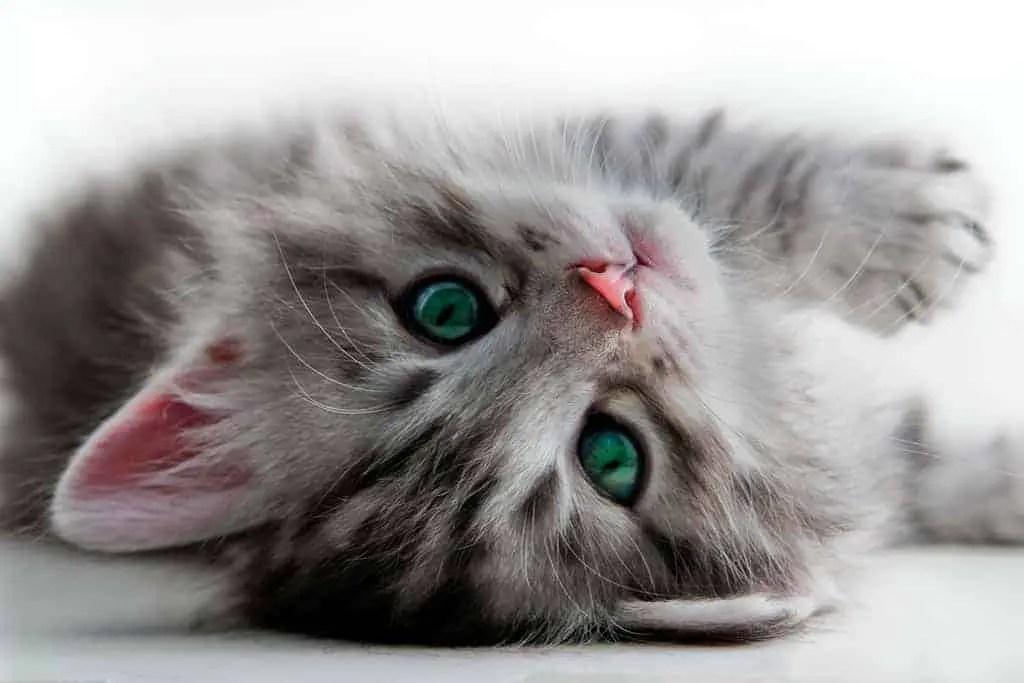 How to Adopt Kittens: 10 Kitten Adoption Do's & Dont's