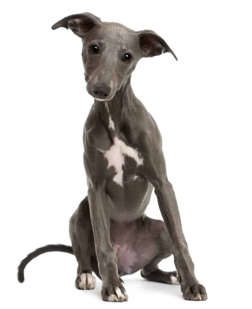 Whippet puppy, 6 months old, sitting in front of white background