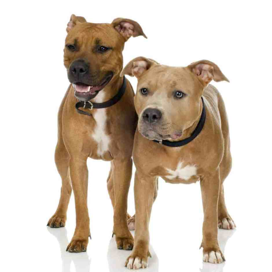 couple of juvenile American Staffordshire terrier in front of a white background