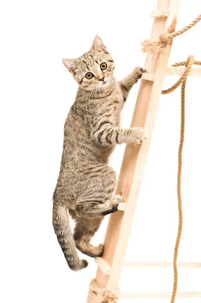 kitten climbing ladder