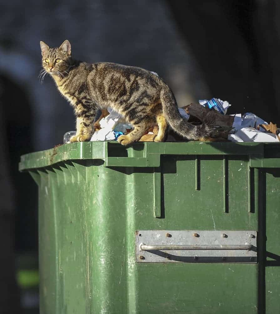 Stray or feral cat looking for food in dumpster