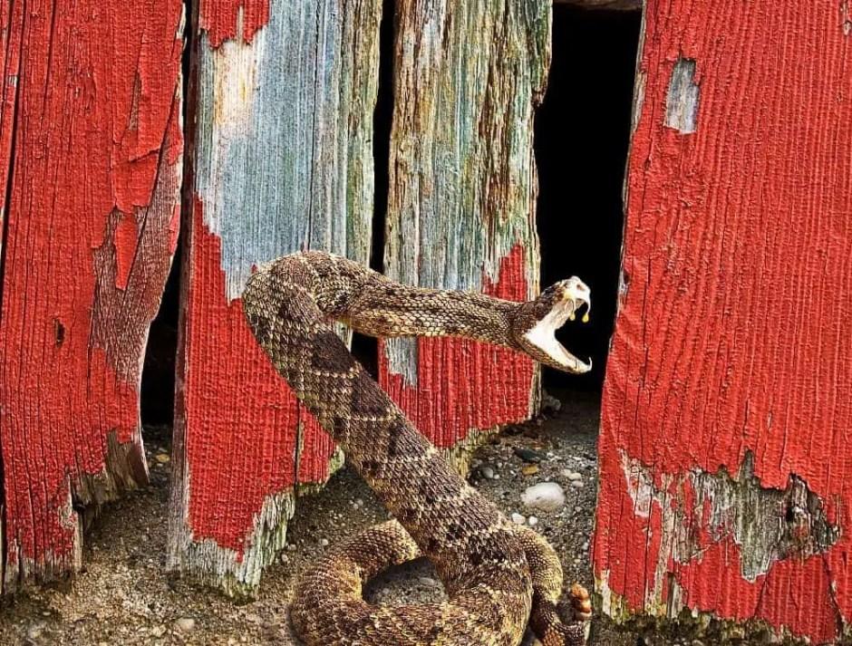 rattle snake striking