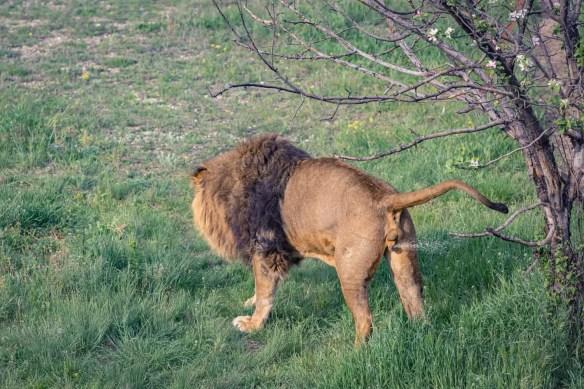 lion spraying