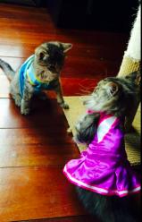 Kittens in dresses