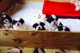 Boogie's puppies
