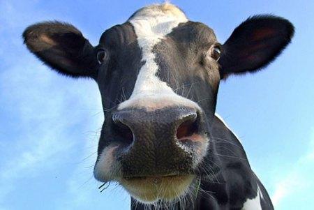 cow-cologne1
