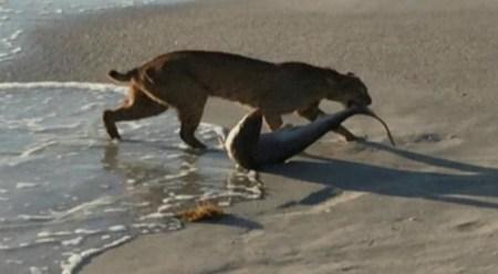 Bobcat-shark1
