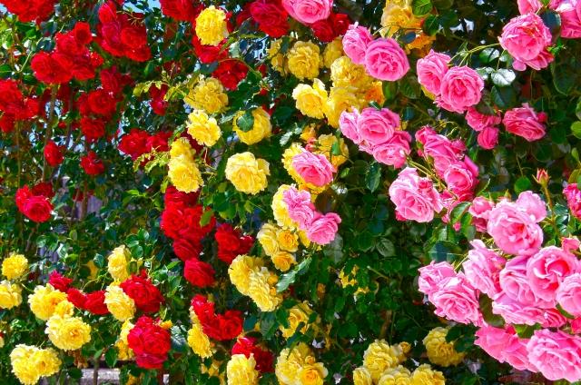 滋賀県のバラ園の名所と見所は?開園時間、入園料、駐車場は?
