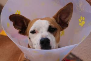 Dog recovering from medical procedure.