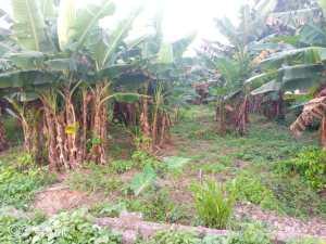 Kwale plantation farm