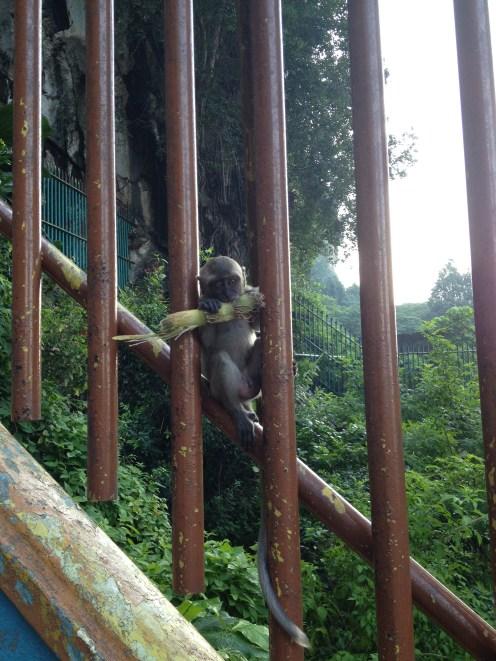 Batu Caves - malpie harce