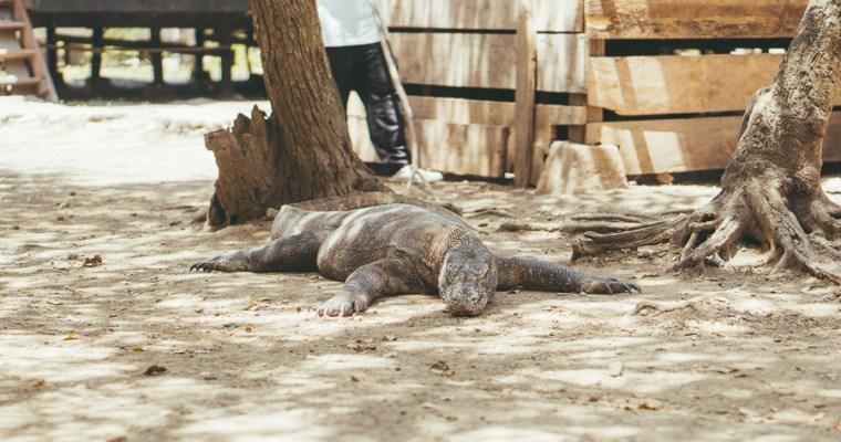 Hiking with Deadly Komodo Dragons on Rinca Island