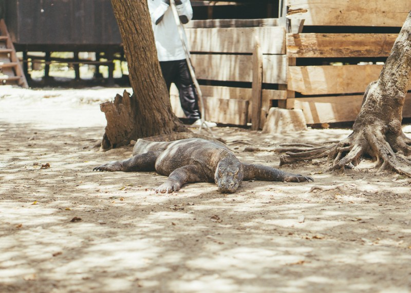 Komodo Dragons Rinca Island