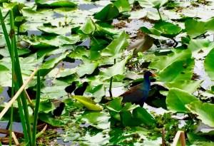 Baby birds on Lake Toho