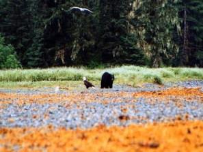 bear_eagle_orange_500
