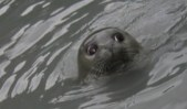 duck_peeking_seal