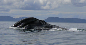 humback-whale-feeding_300