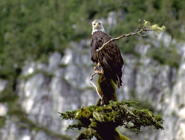 Prince William has one of the highest nesting densities of Bald Eagles in North America