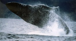 whalehumpback