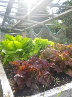 Fresh lettuce for salads from the greenhouse!