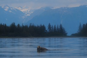 Sea Otters on our paddle back!