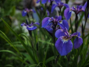 Wild Iris's were EVERYWHERE
