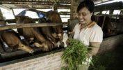 Farm worker feeding animals on anaerobic digestion UK farm