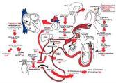 système sanguin et hormonale