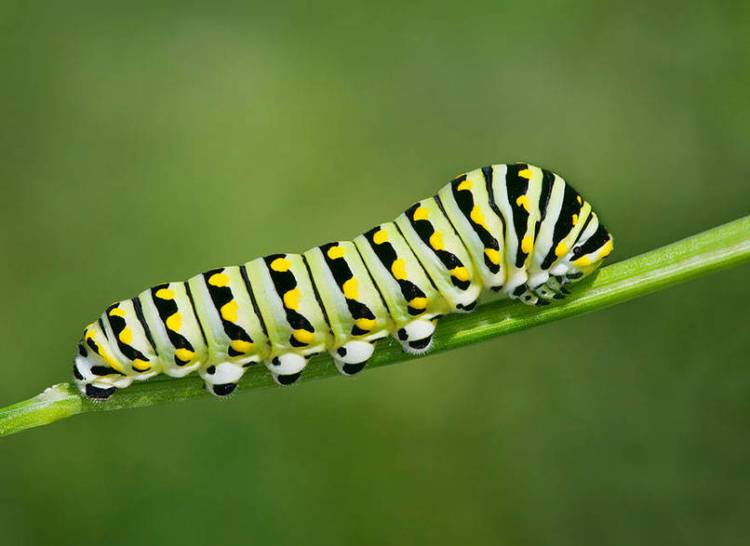 Foto ulat yang cantik, sebelum berubah menajadi kupu-kupu