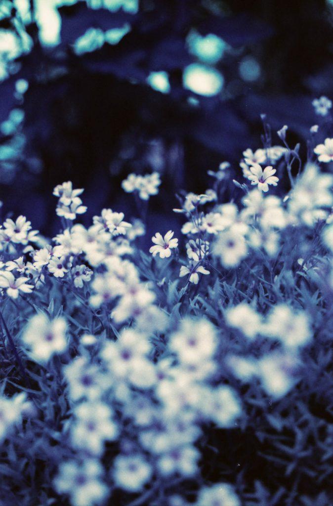 Lomochrome Purple, 35mm film photography, flowers on film