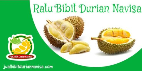 Jual Bibit Durian Musang King Malaysia