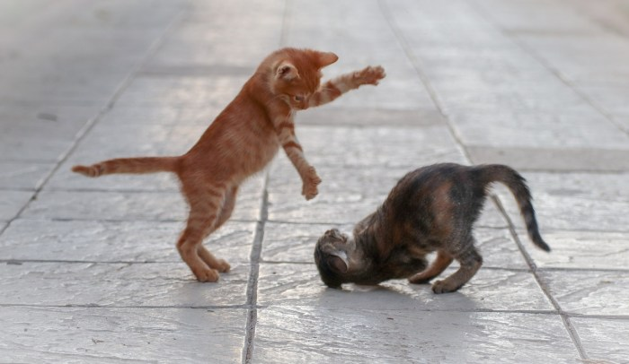 cat, fight, young-4052454.jpg