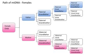 dna 6 - 600px-female_dna_paths