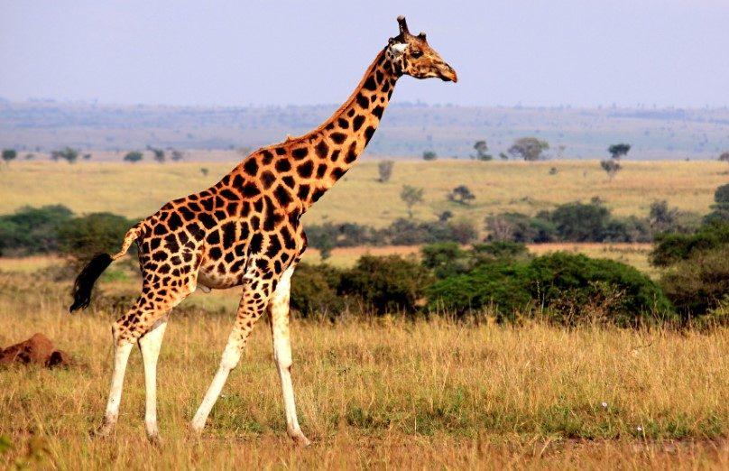 من هو أطول حيوان بري في العالم ما هو الحيوان الاطول في العالم انا مسافر