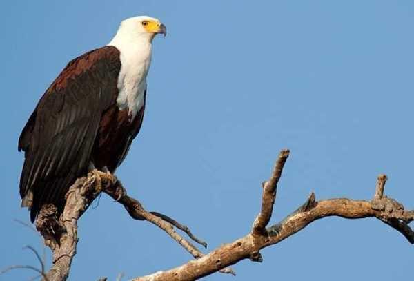 ما هو الحيوان الوطني في جنوب السودان