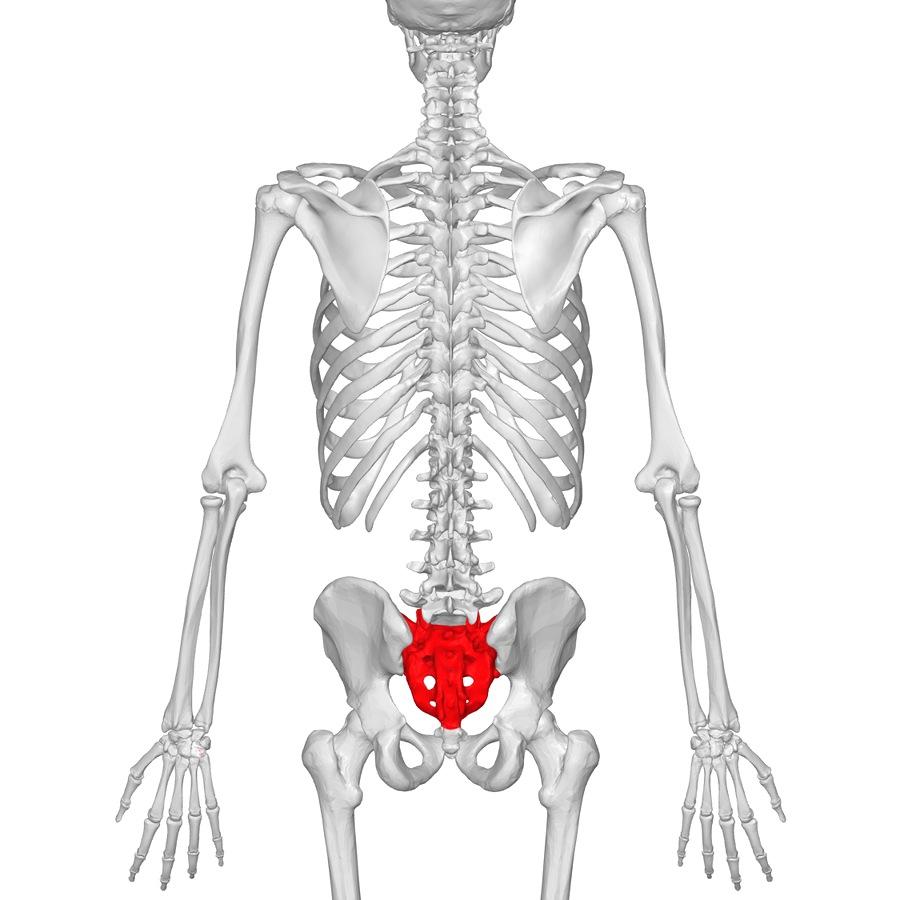 sacral bone|腰痛で仰向けに寝れない、車のシートなどが立っている方|仙骨と腰痛
