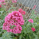 foregrounded pink flower made up of smaller blossoms with leaves and chain-link fence in background