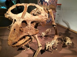 Ananyah- Hatching the Patch- Kelvingrove- Dinosaur Family Skeleton