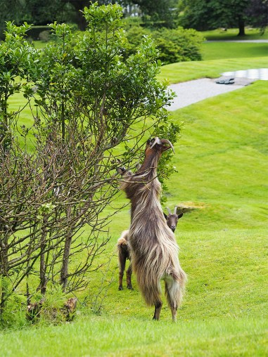 MacDonald Forest Hills Hotel & Spa- Goat Climbing