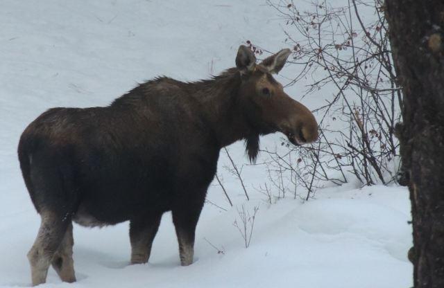 Moose1_Jan 30 17