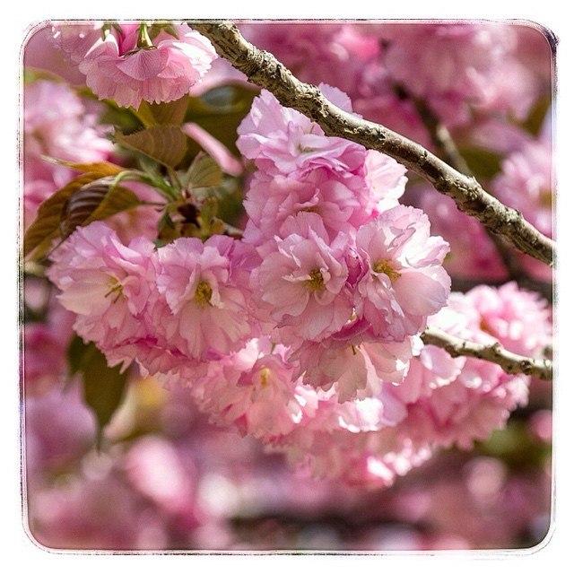 Цветение сакуры в парке Юйюаньтань, Пекин