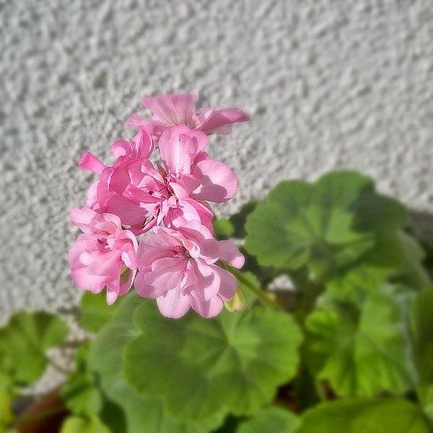 Пеларгония цветет