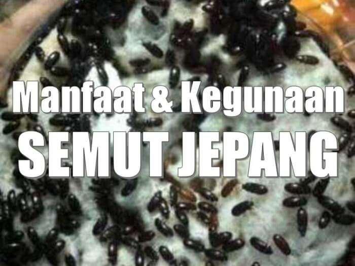 manfaat semut jepang untuk pengobatan