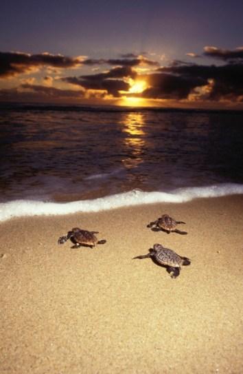 Loggerhead turtle Caretta caretta Hatchlings emerge after 47-66 days of incubation and head out to sea Worldwide