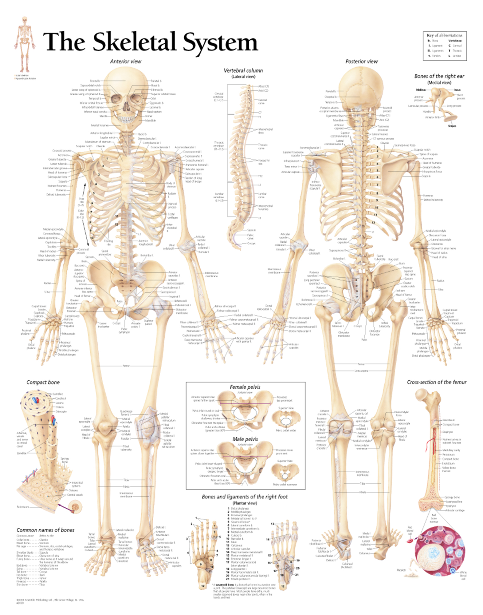 Human Anatomy Skeletal System Worksheet
