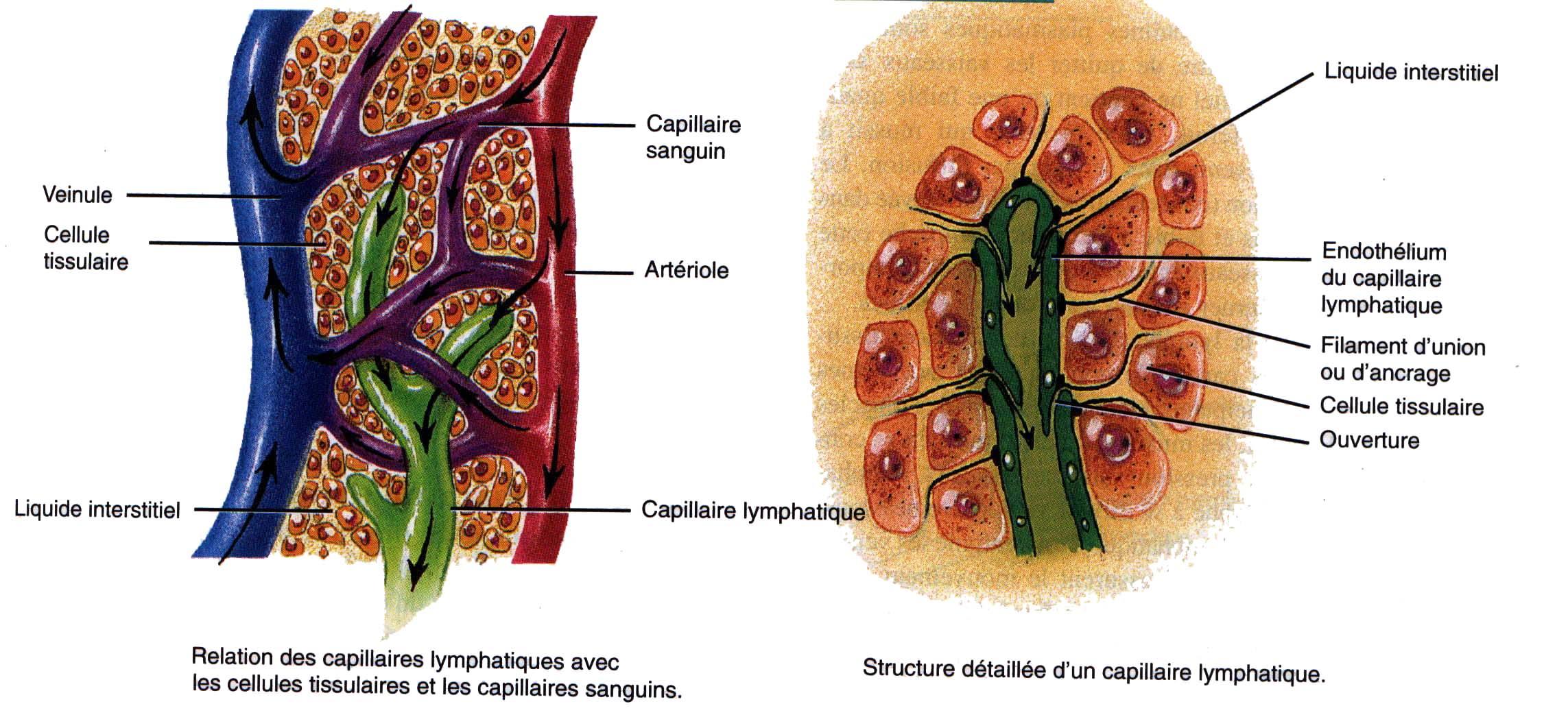 ganglionlymphatique.jpg - Le système lymphatique - inspirezvous.over-blog.com