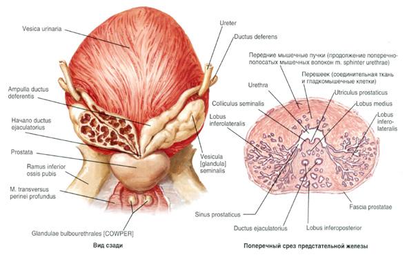 wpływ prostaty na montaż)